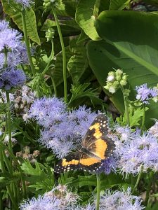 Photo of one of the bubutterfly plants described in the text along with a butterfly.