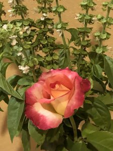 photo a rose from my garden- one of the ways that I find joy in nature