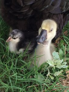 baby chicken and baby goose - more from which we can find joy in God's creation