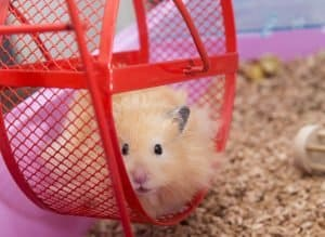 Photo of a hamster on a wheel going around in circles- representing my busy day- and my need to relax through gratitude.
