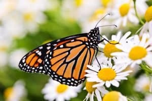 Photo of a monarch butterfly on flowers, representing looking for God in the world around us. It is part of being still and knowing God in a busy world.
